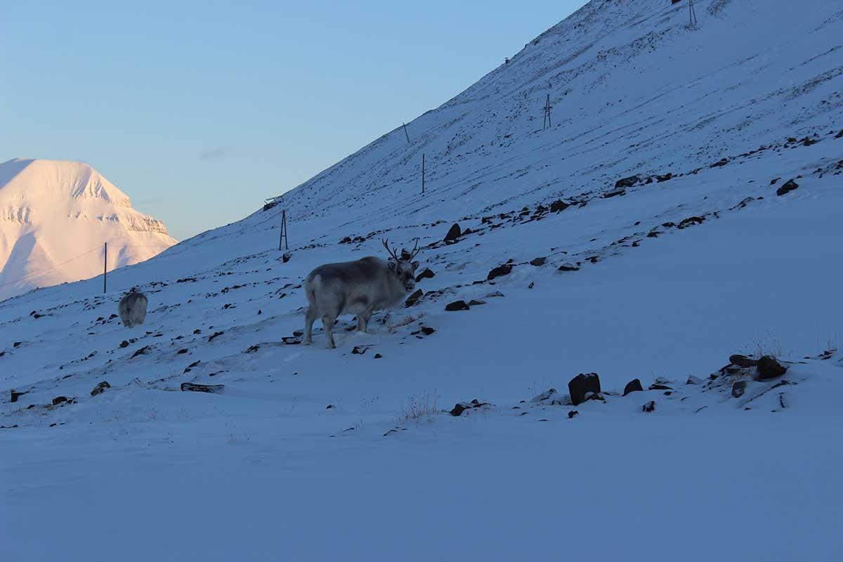 Rentiere Coal Miner's Cabins Longyearbyen Spitzbergen © Ines Erlacher und Thomas Mussbacher