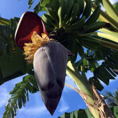 Bananenblüte Gartenanlage Kuba Hoteltipp Paradisus Rio de Oro Playa Esmeralda Playa Guardalavaca Karibik www.gindeslebens.com