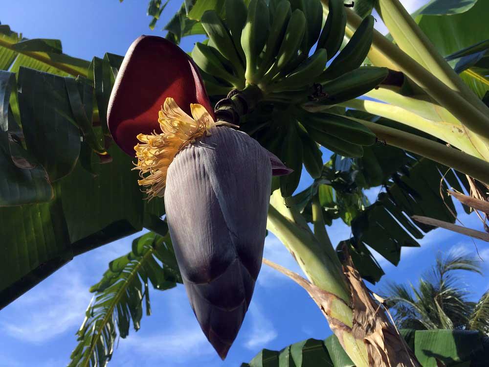 Bananen Paradisus Rio de Oro ©Thomas Mussbacher und Ines Erlacher