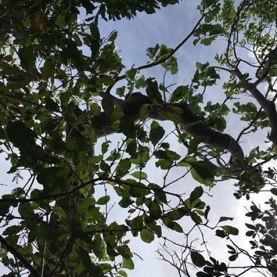 Blick in die Baumkrone Las Guanas Trail Kuba Karibik Naturschutzgebiet an der Playa Esmeralda www.gindeslebens.com