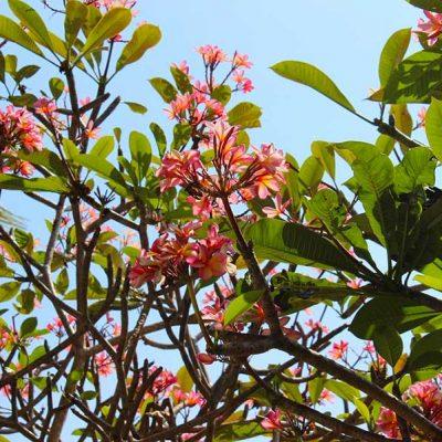 Frangipani Garten Anlage Lombok Sheraton Senggigi Beach Indonesien Asien www.gindeslebens.com