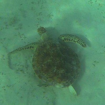 Wasserschildkröte Schnorcheln Tauchen Marsa Alam Ägypten Hotel Gorgonia Beach Ägypten Tauchparadies in der Krise www.gindeslebens.com