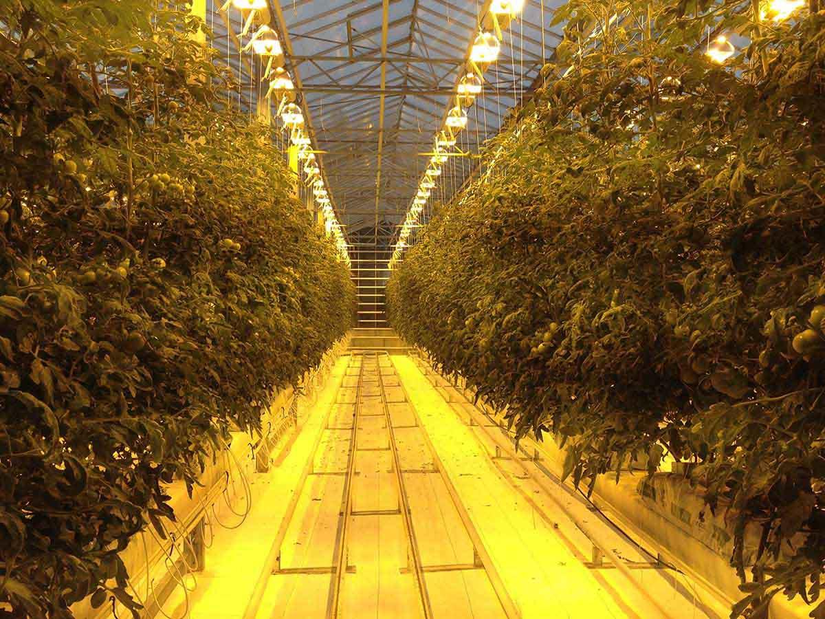Tomaten Fridheimar Farm Islands Südwesten und der Golden Circle Roadtrip Island gindeslebens.com © Thomas Mussbacher und Ines Erlacher