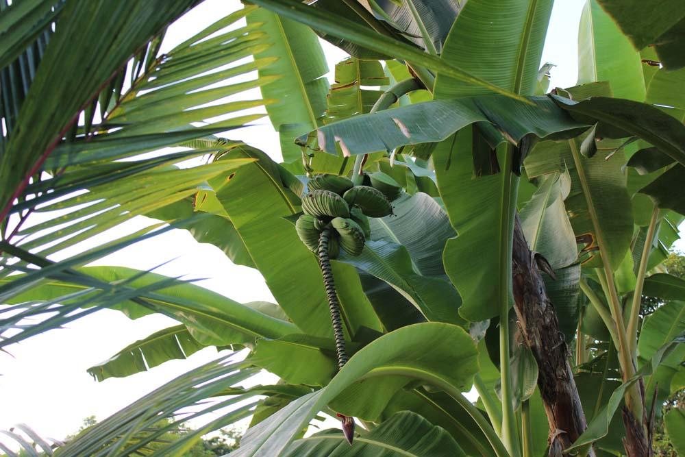 Bananen Puerto Limón www.gindeslebens.com