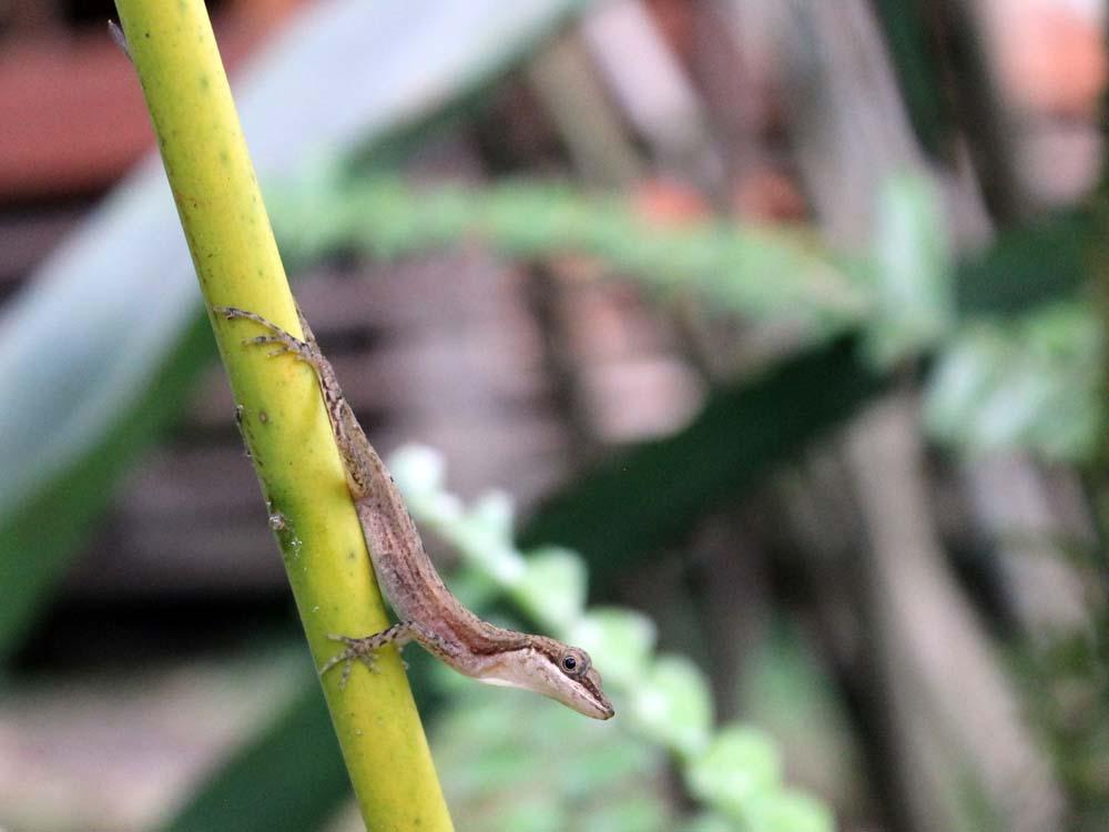 Eidechse Cariblue Karibikküste Costa Rica www.gindeslebens.com