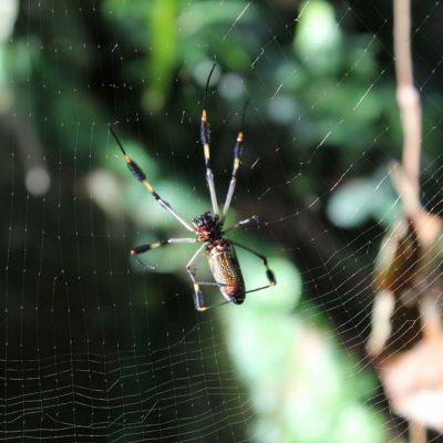 Spinne Cariblue Karibikküste Costa Rica www.gindeslebens.com