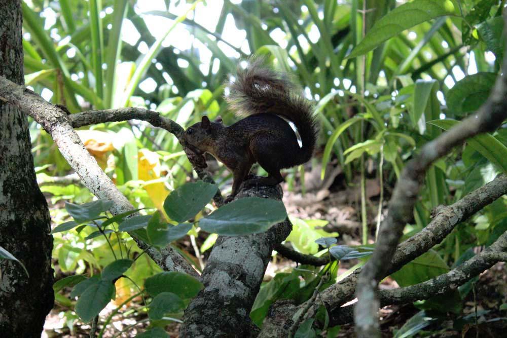 Eichhörnchen Nationalpark Cahuita Costa Rica www.gindeslebens.com