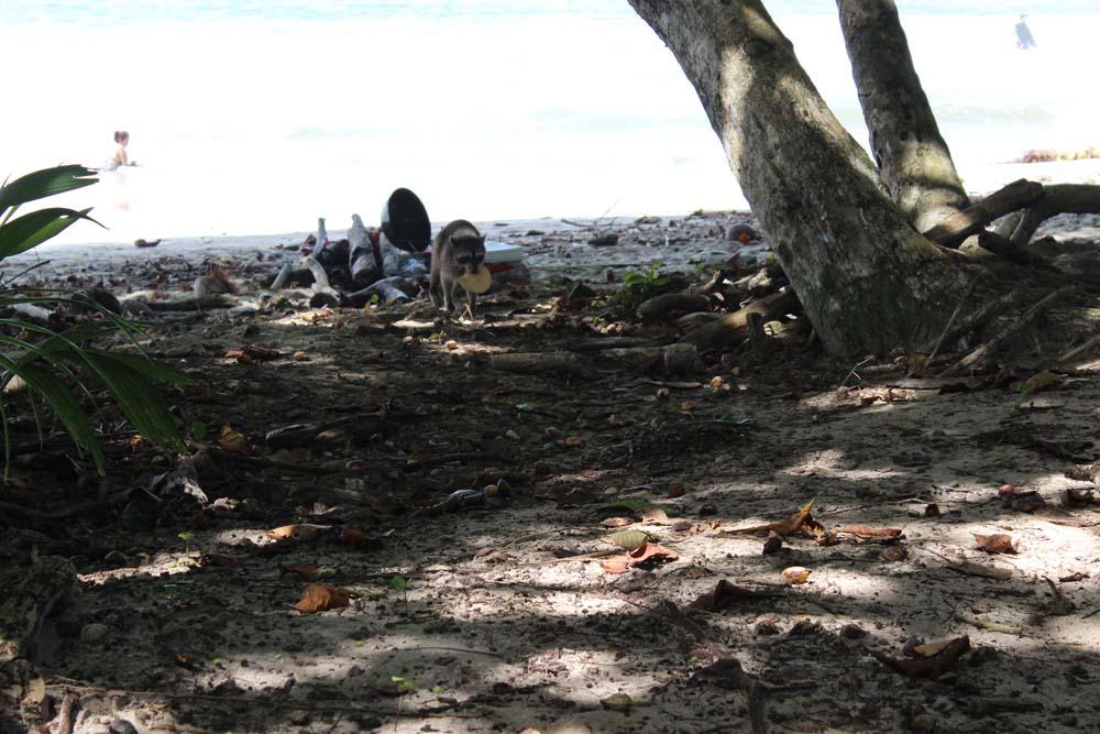 Waschbär beim Klauen von Essen Nationalpark Cahuita Costa Rica www.gindeslebens.com
