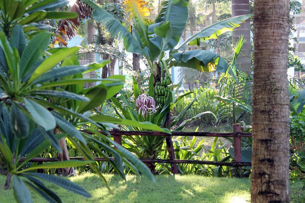 Bananen Anlage Iberostar Hacienda Dominicus Bayahibe Dominikanische Republik www.gindeslebens.com