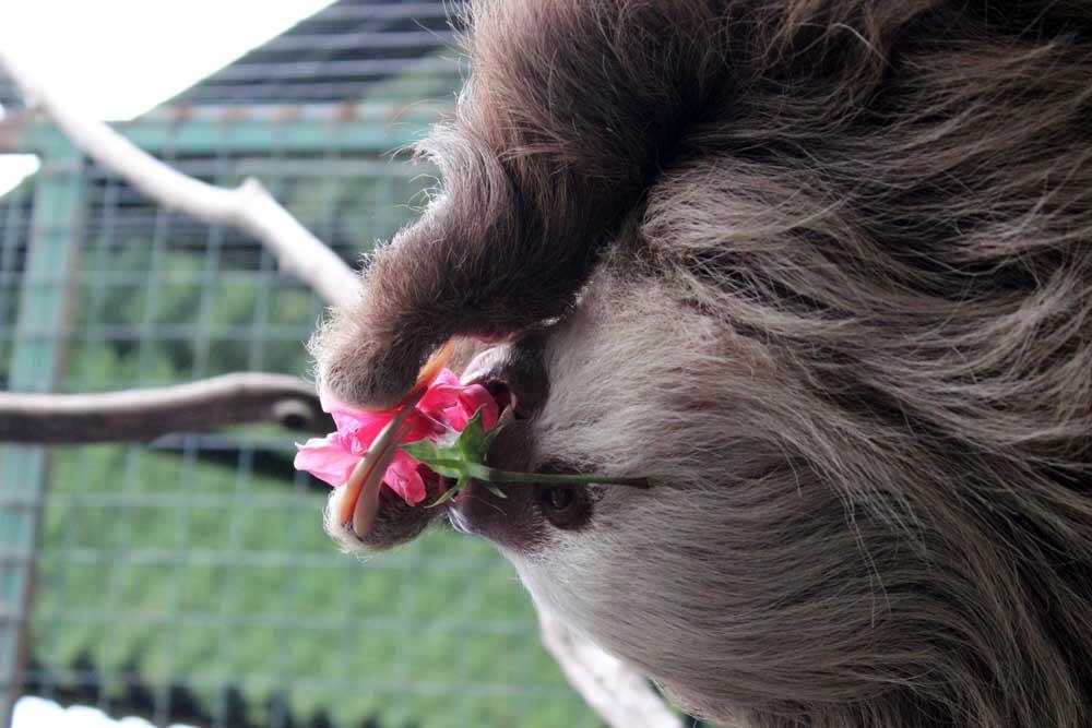 Zweifingerfaultier und Hibiskusblüte Toucan Rescue www.gindeslebens.com