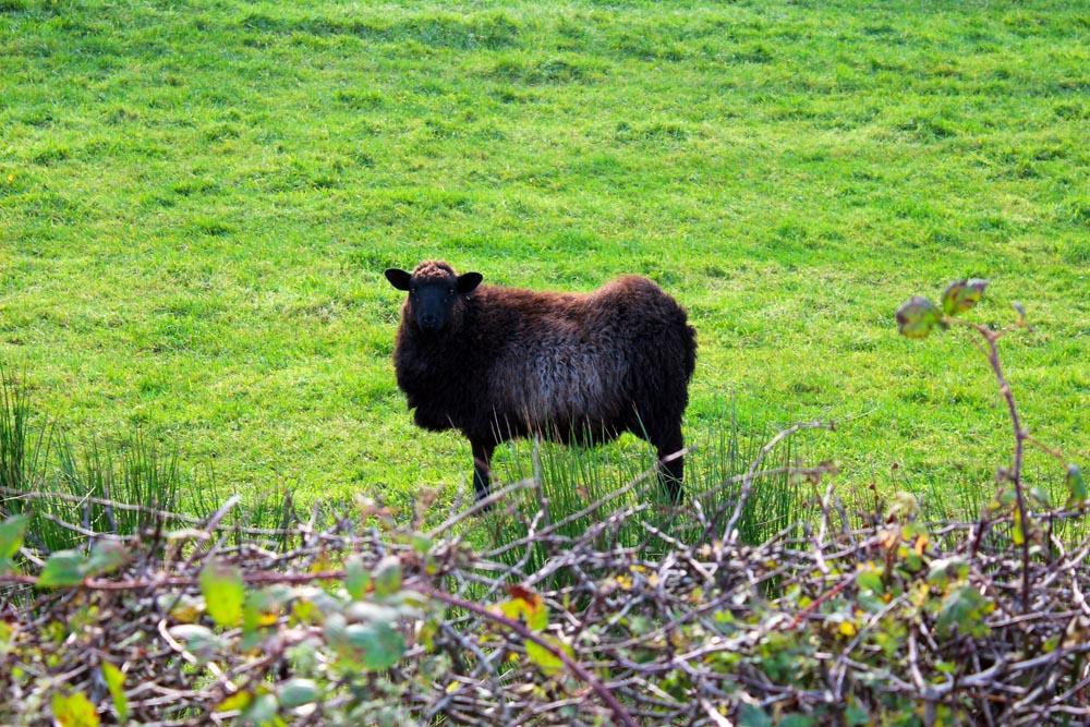 Schafe am Wild Atlantic Way Roadtrip Irland www.gindeslebens.com