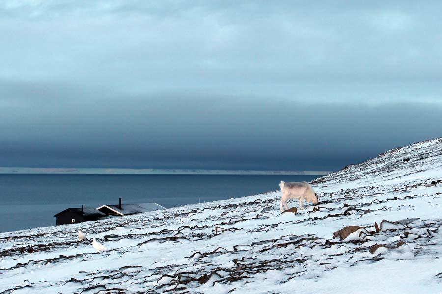 Rentier und Schneehuhn Björndalen Arktis Fototour mit See and Explore www.gindeslebens.com