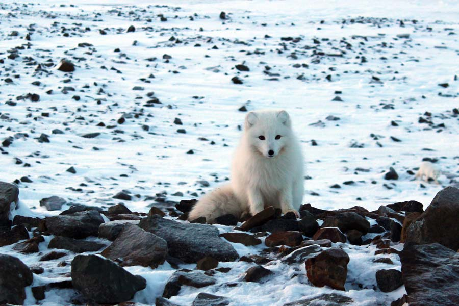 Spitzbergen Urlaub in der Arktis Polarfuchs Björndalen Longyearbyen Spitzbergen Arktis Fototour mit See and Explore www.gindeslebens.com