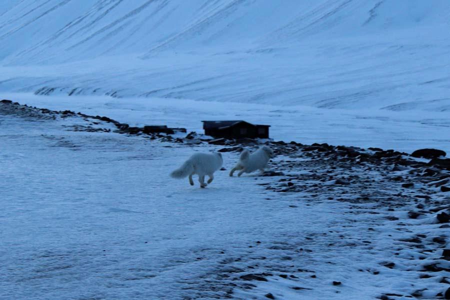 Polarfüchse Longyearbyen Spitzbergen Arktis Fototour mit See and Explore www.gindeslebens.com