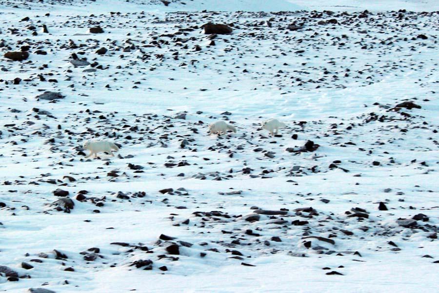 Polarfüchse Björndalen Longyearbyen Spitzbergen Arktis Fototour mit See and Explore www.gindeslebens.com