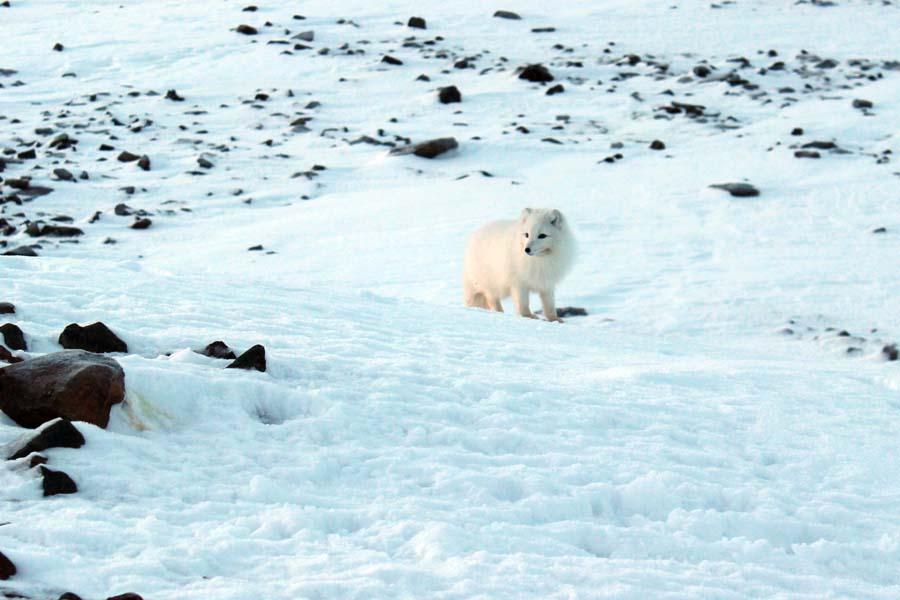 Polarfuchs Björndalen Longyearbyen Spitzbergen Arktis Fototour mit See and Explore www.gindeslebens.com