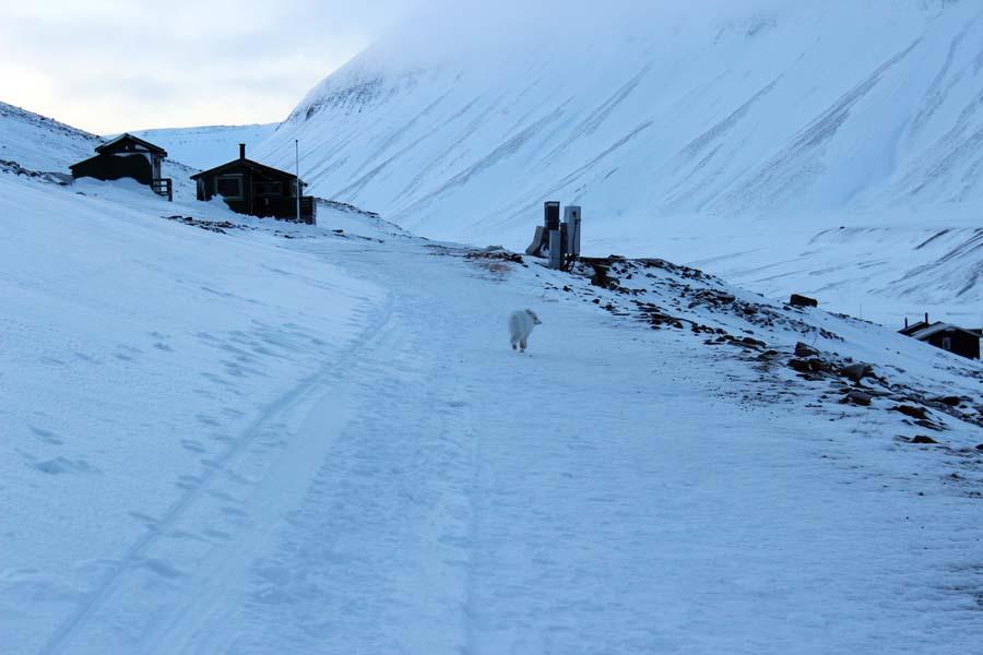 Polarfuchs Longyearbyen Spitzbergen Arktis Fototour mit See and Explore www.gindeslebens.com