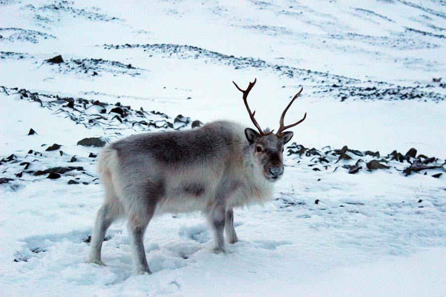 Rentier Björndalen Longyearbyen Spitzbergen Arktis Fototour mit See and Explore Spitzbergen Reise - Aktivitäten, Ausflüge und Touren in der Arktis im Winter www.gindeslebens.com