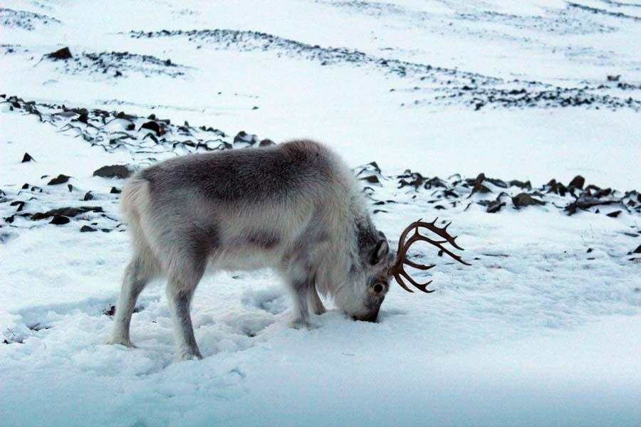 Spitzbergen Urlaub in der Arktis Rentier Björndalen Longyearbyen Spitzbergen Arktis Fototour mit See and Explore www.gindeslebens.com