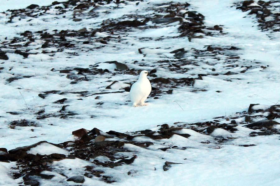 Spitzbergen Urlaub in der Arktis Schneehuhn Björndalen Arktis Fototour mit See and Explore Spitzbergen Reise - Aktivitäten, Ausflüge und Touren in der Arktis im Winter www.gindeslebens.com