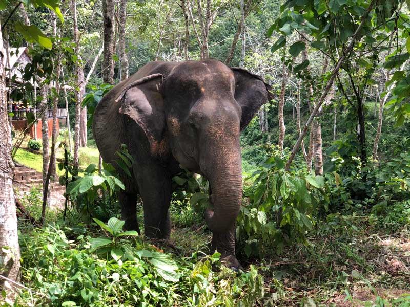 Phuket Elephant Sanctuary Phuket in der Regenzeit - Sehenswertes, Aktivitäten und Tipps www.gindeslebens.com