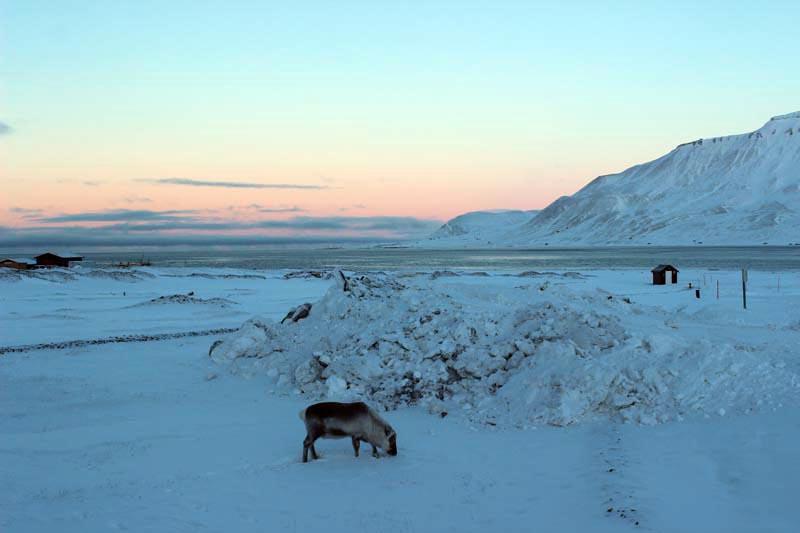 Spitzbergen Urlaub in der Arktis Rentier www.gindeslebens.com