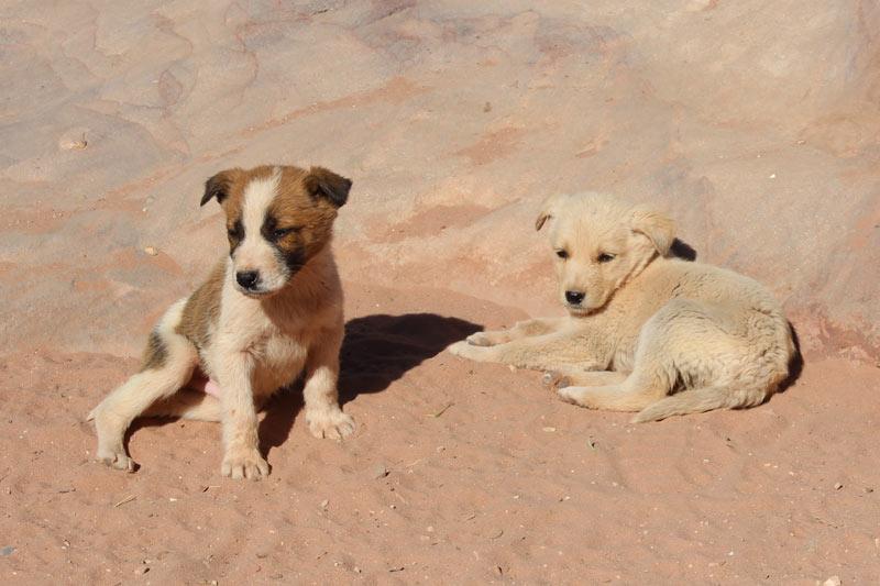 Hundewelpen in Petra Jordanien www.gindeslebens.com