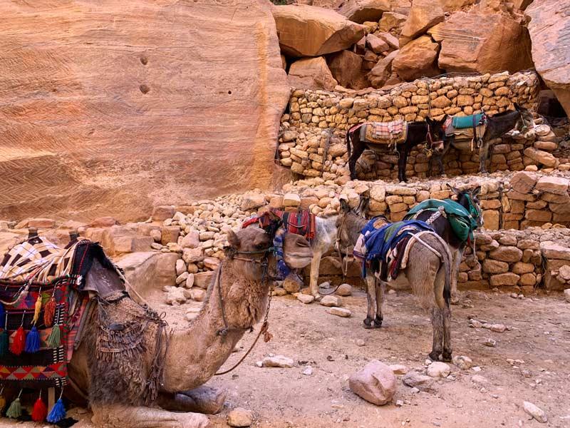 Esel und Kamele Petra Jordanien www.gindeslebens.com