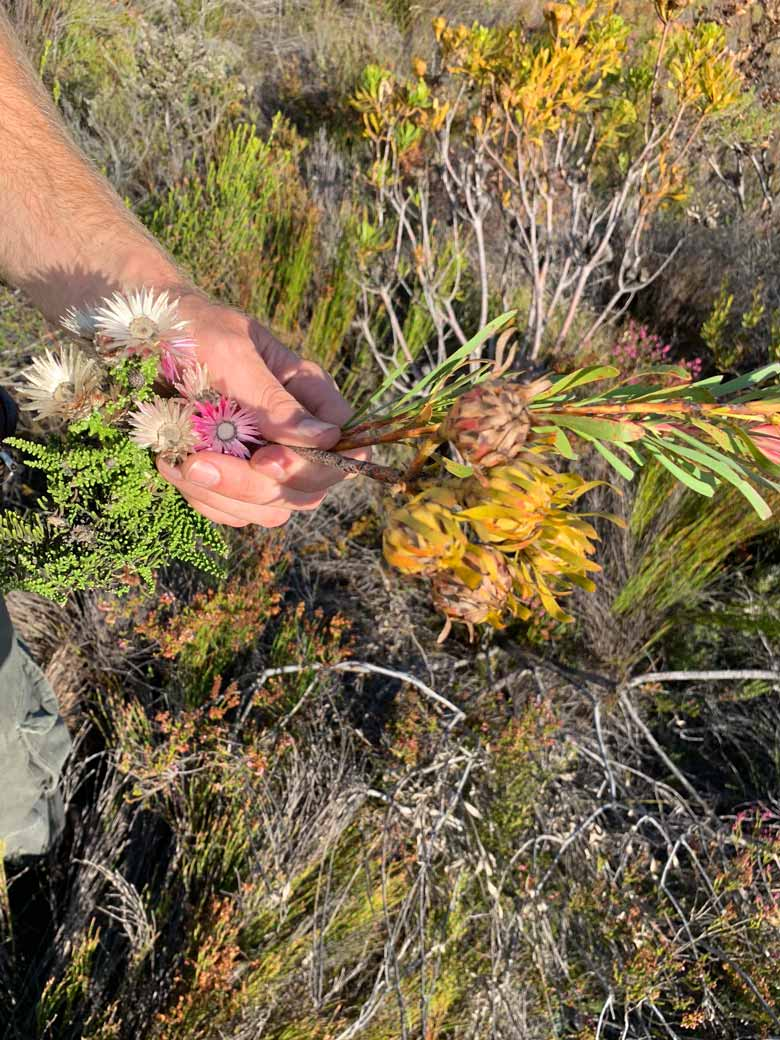 Fynbos und Protea Grootbos Privat Nature Reserve www.gindeslebens.com