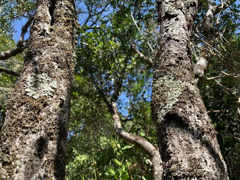 Bäume Milkwood Wald Grootbos Privat Nature Reserve www.gindeslebens.com