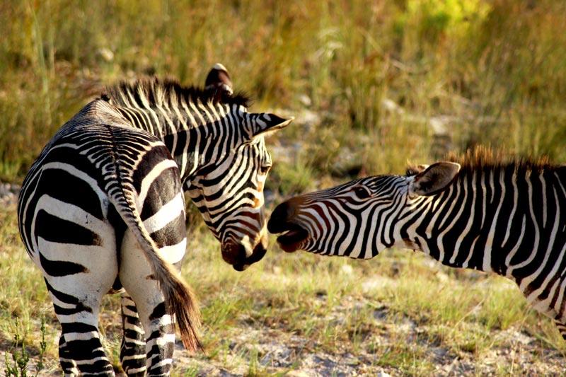 Zebras Südafrika www.gindeslebens.com