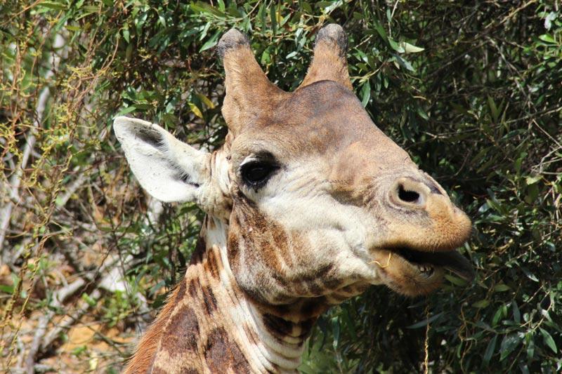 Giraffe beim Fressen Safari Südafrika www.gindeslebens.com