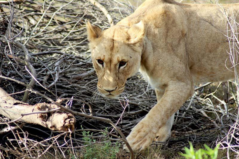Löwin Big Five Game Drive Fauna und Flora Südafrika www.gindeslebens.com