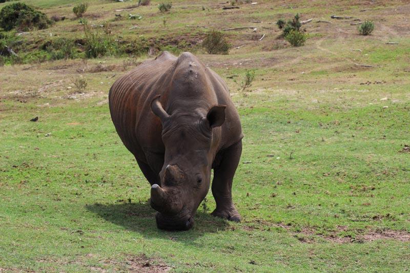 Nashorn Big Five Fauna und Flora Südafrika www.gindeslebens.com