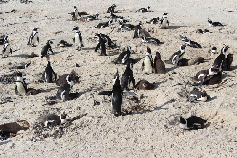 Pinguine am Boulders Beach Südafrika www.gindeslebens.com