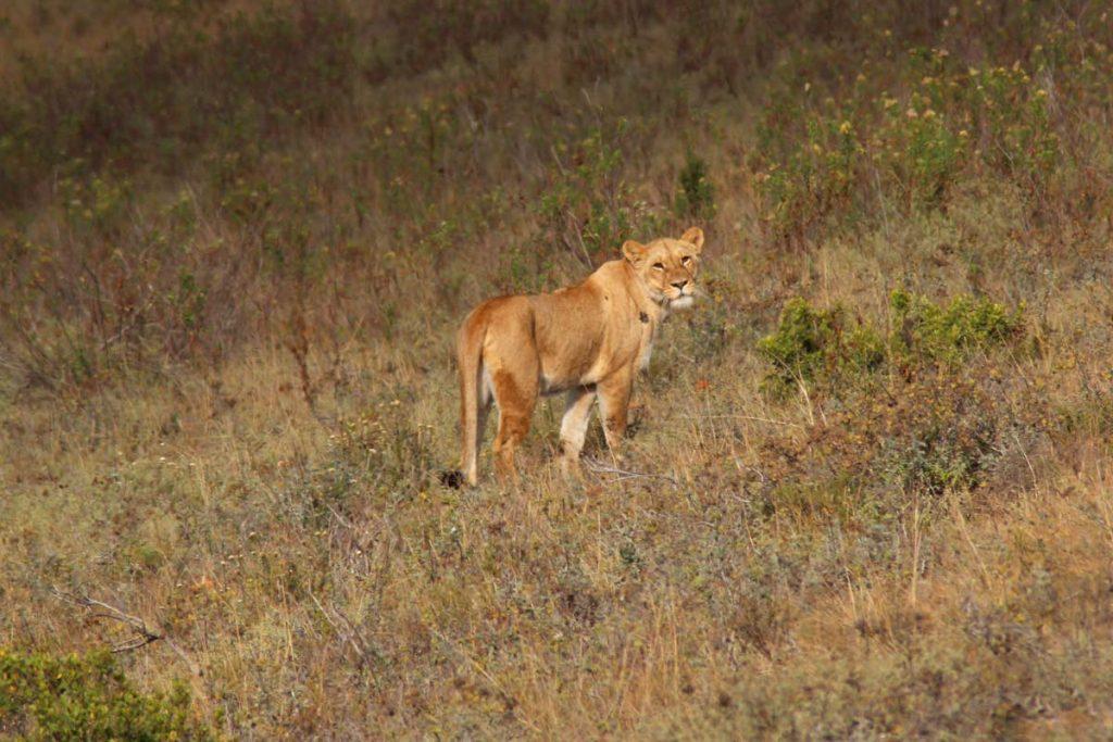 Südafrika Safari Löwe www.gindeslebens.com