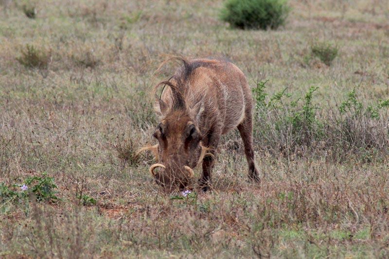 Warzenschwein Game Drive Südafrika Fauna und Flora www.gindeslebens.com