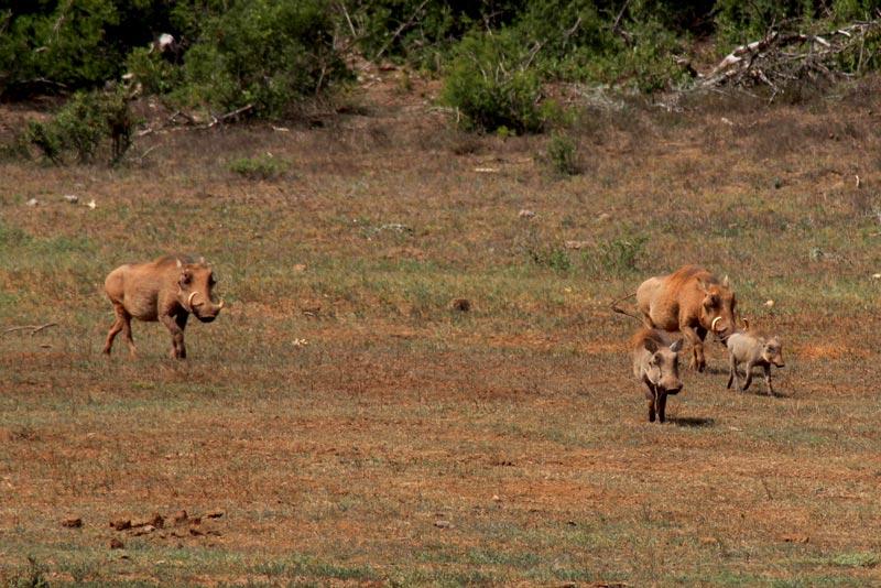 Warzenschweine Game Drive Südafrika Fauna und Flora www.gindeslebens.com