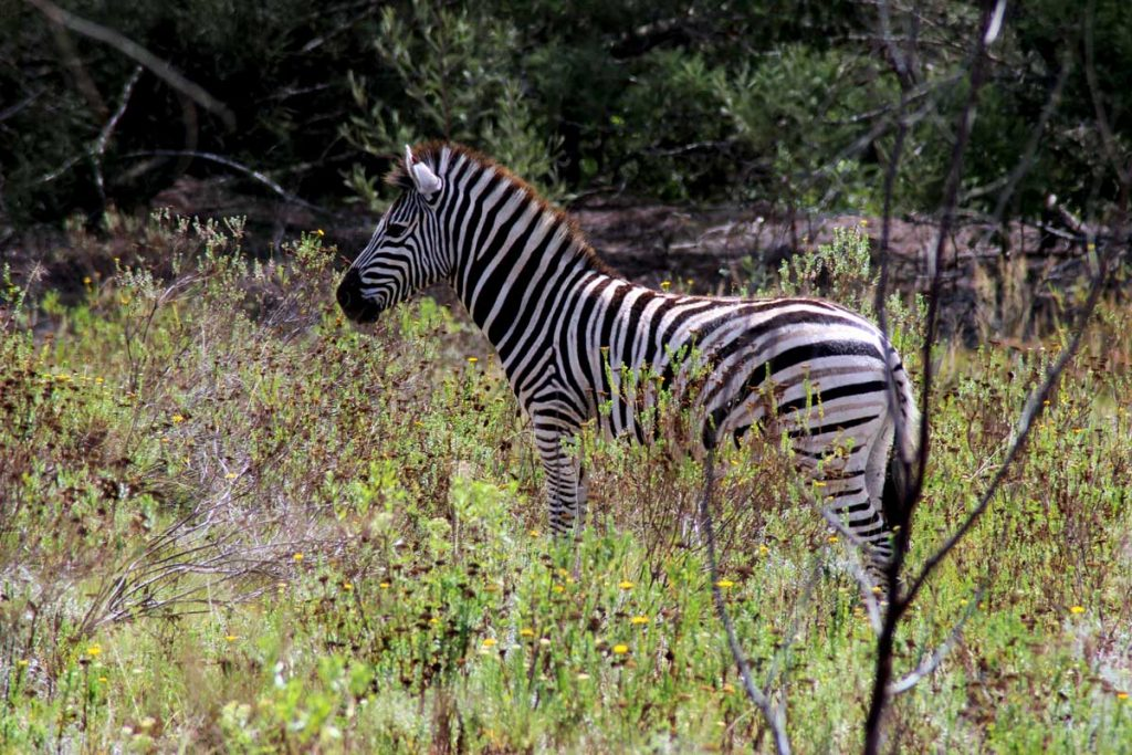 Südafrika Rundreise Zebra www.gindeslebens.com