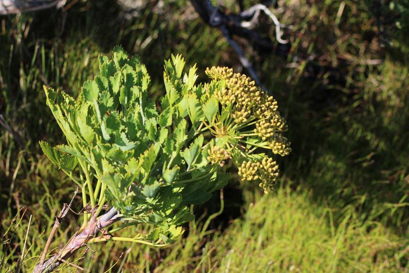 Sieht harmlos aus, kann aber zu Hautreizungen führen - der Blisterbush in Südafrika www.gindeslebens.com
