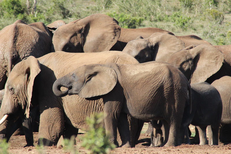 Elefanten Addo National Park Big Five Safari