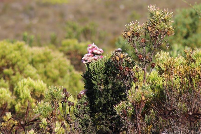 Fynbos Südafrika www.gindeslebens.com