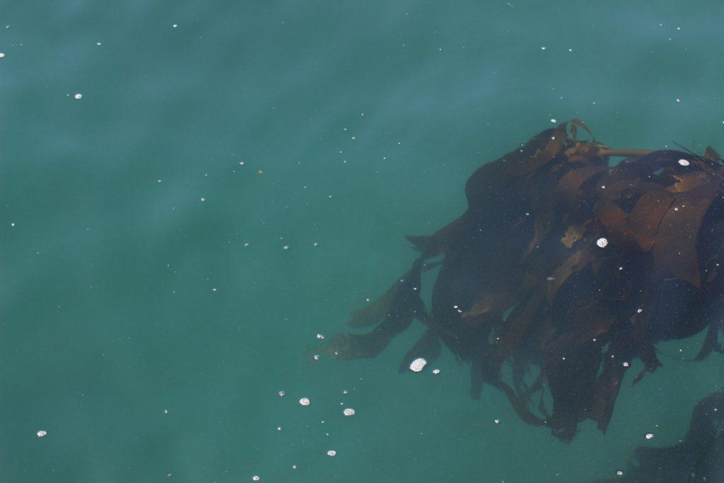 Kelp www.gindeslebens.com