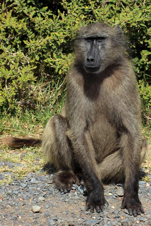 Pavian Tiere in Südafrika www.gindeslebens.com