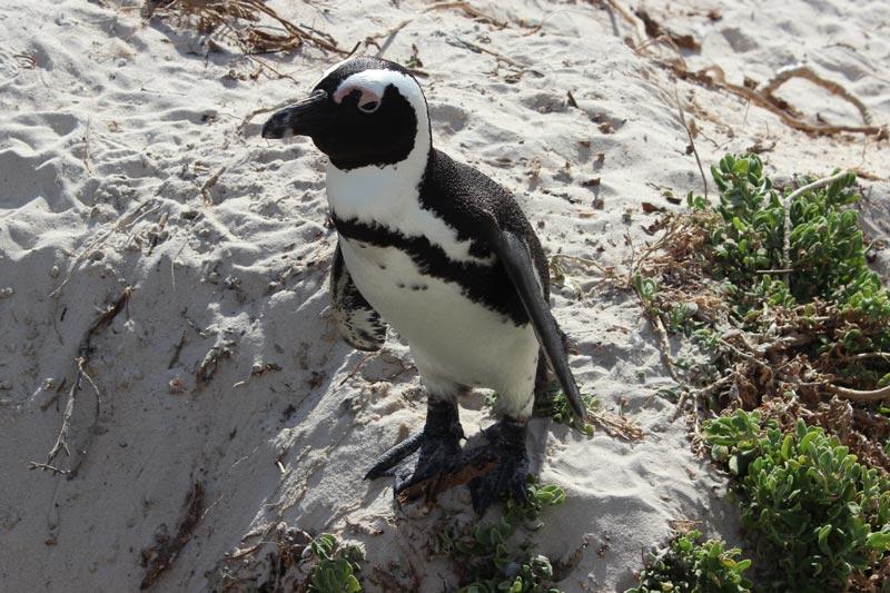 Pinguin am Boulders Beach www.gindeslebens.com