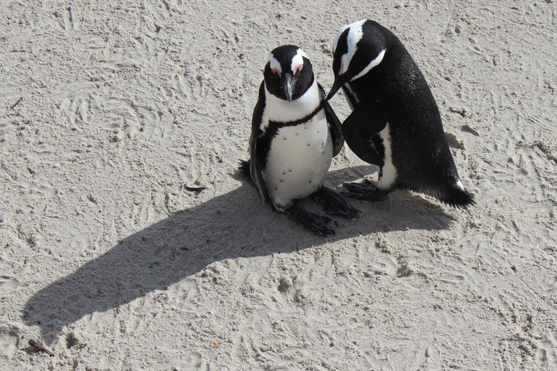 Pinguin Pärchen am Boulders Beach www.gindeslebens.com