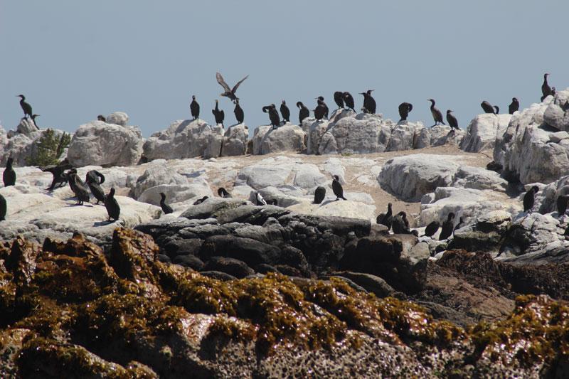 Seevögel auf Dyer Island www.gindeslebens.com