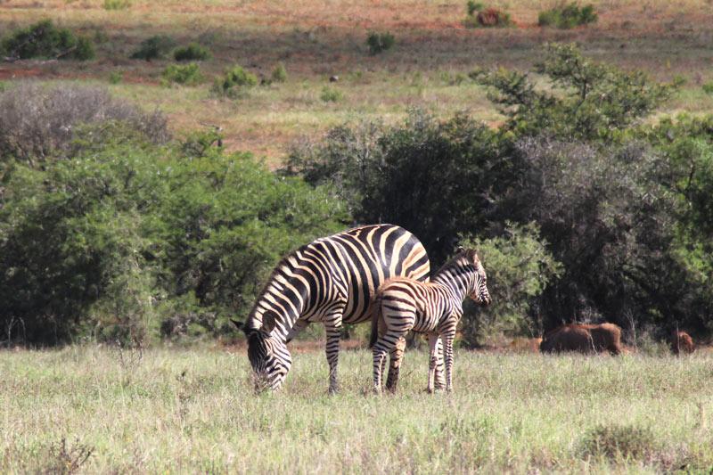 Zebra mit Fohlen Addo Nationalpark Südafrika www.gindeslebens.com