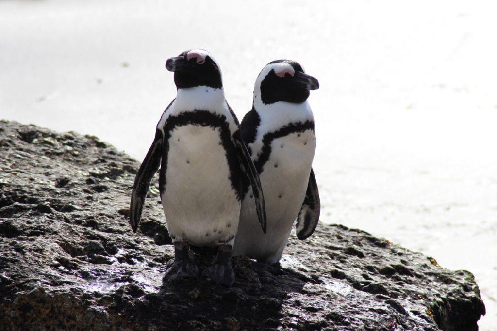 Boulders Beach Pinguine Südafrika
