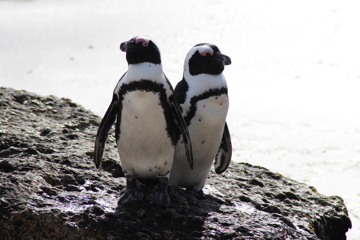 Boulders Beach und Foxy Beach – Pinguine Südafrika